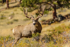 Magnificent (Chad Dutson) Tags: magnificent chad dutson animal animals wildlife deer buck antlers colorado west rocky mountain mountains national park nature wilderness wild landscape forest