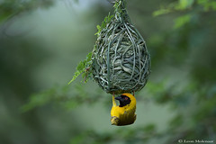 Perfection (leendert3) Tags: leonmolenaar southafrica krugernationalpark wildlife nature birds southernmaskedweaver ngc npc