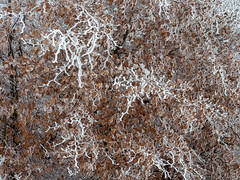 Winter texture (nikjanssen) Tags: patterns winter frost snow leaf beuk beech tree abstract texture