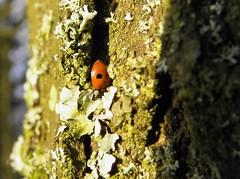 Adalia bipunctata (rockwolf) Tags: adaliabipunctata 2spot ladybird coccinelle coccinellidae coleoptera beetle coccinelleà2points alkincoats lancashire 2009 rockwolf