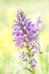 Knabenkraut (AnBind) Tags: makro plflanzen orchideen lobau österreich nationalpark technik nationalparkdonauauen 2018 wien at ngc npc coth