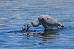 """""""gotcha"""" White faced heron (bevanwalker) Tags: bird estuary animal fresh time summer ohotography outdoor native nature wildlife pose beak feathers colour grey whiteface moment closeup cropped camera nikond750 lens 300mmf28tc17e11 fishing hunting"""