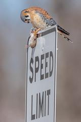 What's your sign... (Kevin E Fox) Tags: americankestrel kestrel falcon raptor bird birding birdwatching birds birdofprey sigma150600sport sigma nature nikond500 nikon pennsylvania peacevalley newbritain