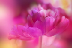 Tulip (EdiB.) Tags: tulip pink macro flower bokeh