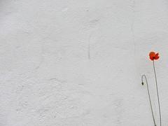 (anaritaperalta) Tags: papoila textura parede branco vermelho flor silvestre