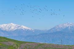 A Huge Flock of Seagulls Flying Over the Snowy San Gabriel Mountains! (SCSQ4) Tags: birdsinflight california chinohills flock grandavenuepark sangabrielmountains seagulls snow snowymountains winter landscape