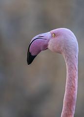 Flamenco (Fotgrafo-robby25) Tags: aves bioparc fauna sonyilce7rm3