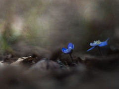 Hepatica nobilis (anna barbi) Tags: fiori due trontano blu