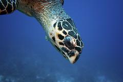 hawksbill looks me over (Jeff Mitton) Tags: turtle hawksbillseaturtle hawksbill seaturtle turneffeatoll belize caribbean caribbeansea eretmochelysimbricate criticallyendangered endangered scuba underwater tropical marine earthnaturelife wondersofnature reptile