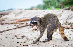 Raccoon on the beach (Xuberant Noodle) Tags: america animal beach beautiful central color colorful colour colourful costa environment forest fur furry hungry jungle latin life lotor mapache mask masked nature outdoor outdoors outside panda pretty procyon raccoon rain rainforest rica sand scrawny skinny thin tongue trash tropical tropics vibrant wild wildlife