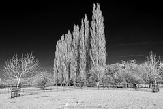 Standing II (James Etchells) Tags: barrington court infrared ir landscape national trust black white monochrome landscapes outdoors outdoor natural world nature art artistic creative surreal south west england uk britain tree trees nikon somerset photography field fields light dark winter spring wintery perspective