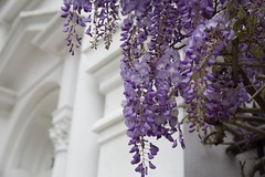 Give me all the spring flowers (Michelle Myhill) Tags: southcarolina charlestonsc wisteria spring flowers trave