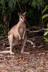 Wallaby (Markus Branse) Tags: wallaby eastpointreserve darwin northernterritory australia australien eastpoint beuteltier animal animals animaux dieren dier beutel tiere busch bush fauna natuur nature natur tropen