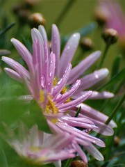 Artémis fleur - flower (danielled61) Tags: perles de pluie éventail doigts fleur flower jardin garden rose printemps avril macro