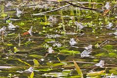 _W4A8665 Frogs (Rana temporaria) in Pond (ajmatthehiddenhouse) Tags: kent stmargaretsatcliffe garden uk 2018 frog amphibians rana temporaria ranatemporaria commonfrog amphibian