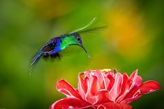 Crowned Woodnymph / Paarskroonbosnimf (Wim Hoek) Tags: 2018 december man wildlife kolibries centralamerica birds outdoor paarskroonbosnimf costarica centraalamerika crownedwoodnymph diereninhetwild hummingbirds thaluraniacolombica trochilidae vogels sancarlos alajuelaprovince cr
