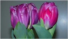 The Idea of Spring that may come again... (MaxUndFriedel) Tags: tulip flower blossom winter pink nature