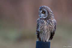 Short Eared Owl (Simon Stobart) Tags: short eared owl asio flammeus perched post north easr england uk