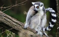 Katta (AvesAg) Tags: tierpark berlin tierparkberlin zoo canon eos 6d katta lemurcatta ringtailedlemur lemur halbaffe maki lemuridae endangered primate