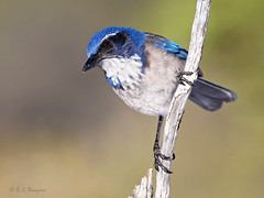 California Scrub Jay on branch (Robyn Waayers) Tags: californiascrubjay aphelocomacalifornica jay jays robynwaayers