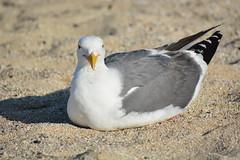 Seated Seagull (sonstroem) Tags: seagull bird birdwatching beach larus canus plump