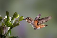Just a Nice Hummingbird (Patricia Ware) Tags: allenshummingbird backyard birdsinflight california canon canonef500mmf4lisusmlens fuschia manhattanbeach multipleflash selasphorussasin tripod ©2018patriciawareallrightsreserved specanimal