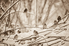 Snowy morning (Inka56) Tags: sparrows bush winter snow snowing monochrome flickrfriday crazytuesday bokeh sepia