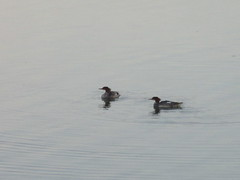 A brace of fowl (jamica1) Tags: salmon arm shuswap lake bc british columbia canada bird