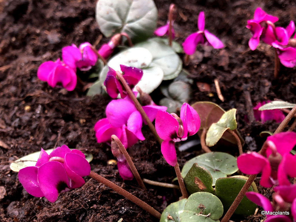 Cyclamen coum 'Ruby Star'