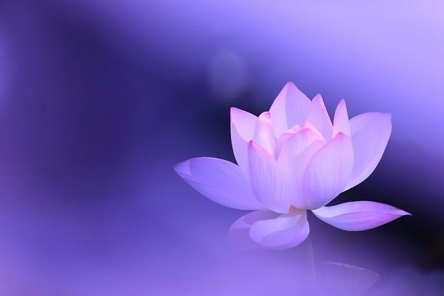 Обои цветок, фон, сиреневый, розовый, лотос картинки на рабочий стол, раздел цветы - скачать