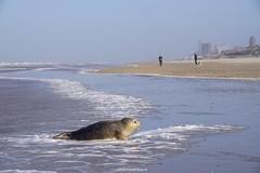 DSC04073 (ZANDVOORTfoto.nl) Tags: seal zeehond zeehonden sealife wildlife noordzee netherlands coast shore animals sea kust zee nederland zandvoort noordholland zandvoortfoto edwinkeur edwin keur