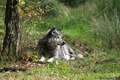 Loup du Canada_JOKER (Passion Animaux & Photos) Tags: loup canada canadian wolf parc animalier saintecroix france