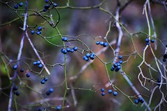 Blue Fruit Forest (filmcrazy1014) Tags: nikon nature wildlife outdoor forest wood woods bokeh fruit blueberry blue colorful brightcolors blur background green white purple magical branch trees treebranch plants uniqueplants