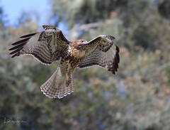 Young Red-tailed Hawk. (Lisa Roeder) Tags:
