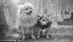 Boo and Beanz (CWhatPhotos) Tags: doggy portrait portraits cwhatphotos together two pair camera photographs photograph pics pictures pic picture image images foto fotos photography artistic that have which contain dog dogs canine pet small terrier yorky yorkshire miniture beanz named mini miniature cute cool pose poser posing big ears boo pom pomeranian zwergspitz dwarfspitz dwarf spitz pompom olympus digital omd em10 mk ll ii panasonic 20mm prime f17 g20mm flickr bw black white mono monochrome