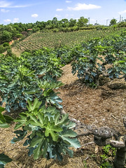 Alf 0001 - 0485 (Alf Ribeiro) Tags: agribusiness agriculture brazil rural agricultural america crop cut farm farmland field fig figs food fresh fruit green immaturity leaves nature outdoor plant production raw south tree