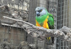 _SAM2925 (2) (maddoctorartist) Tags: birds worldofbirds southafrica houtbay jackasspenguin goldenpheasant oriole starling peacock peahen ducks ibis himalayanmonal parrot macaw pigeons