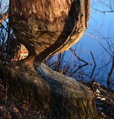 Munich - The Naughty Beaver... (cnmark) Tags: germany deutschland bavaria bayern münchen munich unterföhring feringasee forest wald tree trunk baumstamm biber verbiss beaver see lake wasser water recreational area erholungsgebiet nature ©allrightsreserved