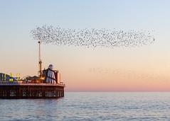 Brighton Starlings and Brighton Place Pier (lomokev) Tags: file:name=1902255dmrk3b4012 starling starlings murmuration nature birds canoneos5d canon eos 5d brighton orange ocean sea sunset pier brightonpier palacepier
