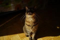 DSC01085 (iocatco) Tags: cat kitten cats sony a7