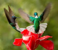 hummie' stand-off (marianna armata) Tags: tummy hummingbird bird exotic tropical costarica tiny iridescent bright fast hovering mariannaarmata whiteneckedjacobin