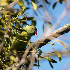 Repas (Olivier Brosseau) Tags: arbre flickrnature vincennes bois ciel gui oiseau perruche repas