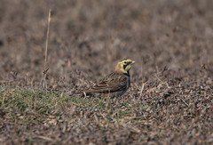 Shore Lark-8501973 (seandarcy2) Tags: lark shorelark saltmarsh holkhamgap norfolk uk birds wildlife wild handheld