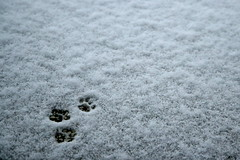 Leave no trace… oops! (superhic) Tags: snow winter cat trace white