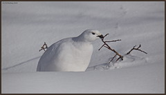 White-tailedPtarmigan_6D_3072 (CrzyCnuk) Tags: whitetailedptarmigan ptarmigan banff alberta canada canon canon6d wildlife icefieldsparkway