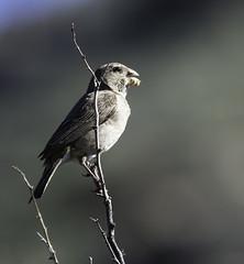 White-throated Canary (Crithagra albogularis)_DSC9825editCC (Dave Krueper) Tags: africa aves bird birds canary fringillidae landbird passeriformes passerine southafrica wtca