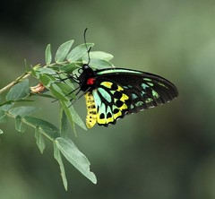 Cairns Birdwing (Ornithoptera euphorion) (iainrmacaulay) Tags: butterfly australia qld cairns birdwing ornithoptera euphorion