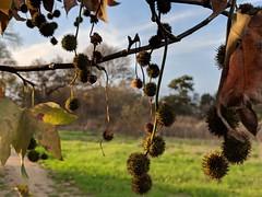 Spikes (Kelson) Tags: california madronamarsh marsh nature hike southbay torrance plants trees seedpods leaves