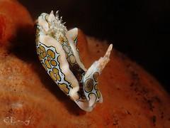 Psychadelic batwing slug (esspd) Tags: psychadelic psychadelicbatwingslug nudibranchs nauticam nacktschnecke nudibranch ess riff tauchen underwater undersea unterwasser uderwaterphotography uwmacro uwphoto uwfoto indonesien insel indonesia ocean olympus asia sea scuba scubadiving slug seaslug diving dive meer macro tulamben tulambendive critters sagaminopteronpsychedelicum nudibranches nacktschnecken