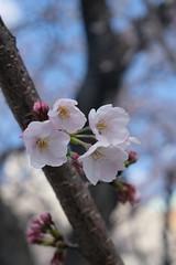 sakura (musecharo) Tags: 桜 sakura flower plant cherry blossom pastel tree